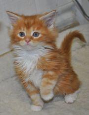 Красный Мейн-кун котята покидают
