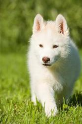 Остались два щенка Сибирский Хаски